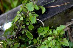 Watercress as an Herbal http://healingweeds.blogspot.com/2012/10/watercress.html