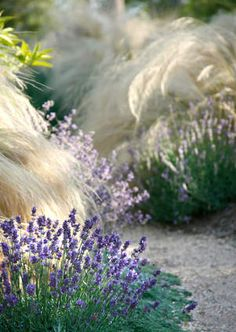 Landscaping Design Tips from Margie Grace - Traditional Home lavender & stipa Mexican Feather Grass, Drought Resistant Plants, Drought Tolerant, Drought Resistant Landscaping, Stipa, Home Landscaping, Landscaping Design, Landscaping Software, Landscaping Rocks