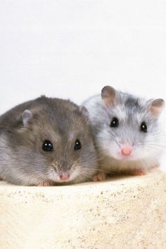 A cute couple hamster :) planning to buy ! so excited !