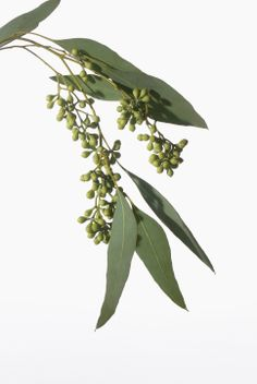Eucalyptus Essential Oil - Making Soap and Candles with Eucalyptus Essential Oil - Eucalyptus Essential Oil Profile