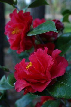 Camellia Japonica 'Turandot'