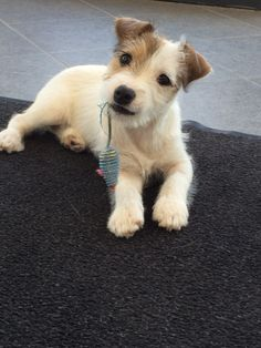#JackRussel puppy Mats 11 weeks old!