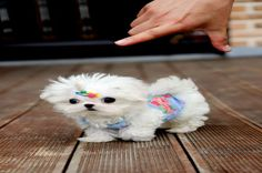 Teacup Maltese are the some of the most beautiful and lovely looking toy dog breeds favored by dog lovers everywhere. Teacup Maltese has a long and exciting history as to how it became the dog breed that we all know and love today Maltese Puppies For Sale, Cute Teacup Puppies, Maltese Dogs, Pug Puppies, Pomeranian Puppy, Cute Dogs And Puppies, Baby Dogs, I Love Dogs, Teacup Dogs