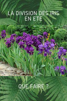 Si vos iris fleurissent moins, c'est qu'ils ont besoin d'être divisés. L'été est la période idéale pour opérer. Herbs, Plants, Garden, Iris, Beautiful Orchids, Orchids, Planters, Flowers, Backyard