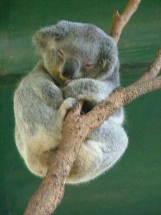 The Koala will sleep hours per day due to their low metabolism and to conserve energy. They can wrap their limbs around a tree branch to sleep. Koalas are not drugged out on eucalyptus leaves. Sleepy Animals, Animals And Pets, Cute Animals, Wild Animals, Baby Koala, Koala Bears, Koala Marsupial, Lemur, Koala Tattoo