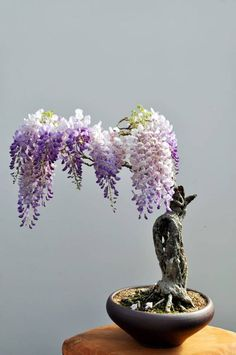 Funny pictures about Beautiful Bonsai Wisteria. Oh, and cool pics about Beautiful Bonsai Wisteria. Also, Beautiful Bonsai Wisteria photos. Ikebana, Wisteria Bonsai, Bonsai Garden, Bonsai Trees, Bonsai Flowers, Garden Plants, Bonsai Forest, Art Flowers, Succulents Garden