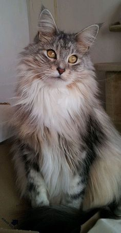 Serefina. Maine coon cat. http://www.mainecoonguide.com/health/