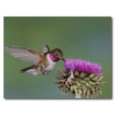 Broad-tailed Hummingbird, Selasphorus 2 Postcard