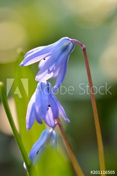 Nahaufnahme von Blaustern-Blüten Clipart, Plants, Royalty Free Images, Close Up Photography, Graphics, Plant, Planets
