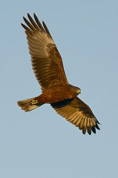 Swamp Harrier, Circus approximans +================+ Hunting in the cooler afternoon, with a crystal clear blue sky, the late evening sun highlights the bird's underwing colours Burning Bridges, Clear Blue Sky, Life List, Azores, Victoria Australia, Exotic Birds, Birds Of Prey, Bird Art, Kiwi