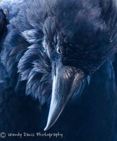 WOW! Raven is lookin' downright MAD! by Wendy Davis