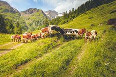 Almsommer im Käfertal #NationalparkHoheTauern  #großglockner #ferleiten #urlaubaufdembauernhof #austria #visitaustria #salzburgerland #lackenhof #lackenalm  Mountains, Nature, Travel, Animals, National Forest, Summer, Voyage, Animales, Animaux