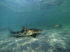 Beautiful Leopard Sharks