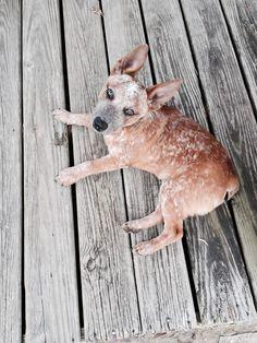Sherlock, stumpy tail cattle dog