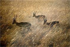 Male Impala running through grass, Mikumi NP, Tanzania, East Africa