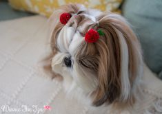 I know Ive shared t I know Ive shared this before but I cant get over how cute Winnie is in her strawberry pom poms. They were a gift from a Brazilian fan and I havent been able to find anything similar in the states. Id love to learn how to make these! Yorkie Dogs, Shih Tzu Puppy, Shih Tzus, Corte Shitzu, Cutest Dog On Earth, Cute Puppies, Cute Dogs, Cute Bear Drawings, Animals And Pets