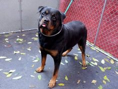 SAFE --- TO BE DESTROYED 11/4/14 Manhattan Center   My name is NEMO. My Animal ID # is A1019218. I am a neutered male black and brown rottweiler mix. The shelter thinks I am about 6 YEARS old.  I came in the shelter as a STRAY on 10/30/2014 from NY 11354, owner surrender reason stated was STRAY.   https://www.facebook.com/photo.php?fbid=898480720164808