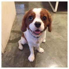 Happy Saturday! Have a good weekend everypawdy!  #instagramdogs #petstagram #dogsofinstagram #petsofinstagram #puppiesofinstagram #cavalierkingcharlesspaniel #cavalierkingcharles #cavaliersofinstagram #cavalier #spaniel #ckcs #sgdogs #ilovemydog #picpets #dogoftheday #doggy #pet #pup #dogstagram #dog #pets #puppies #puppy #sweet #dogs #lovedogs #lovepuppies #instadog #instadaily #instapuppy by bobblethecavalier