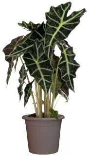 Alocasia amazonica [African Mask, Alocasia Poly] This is a stunning plant!
