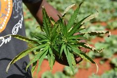 New York garden set to reopenwithout marijuana this time...