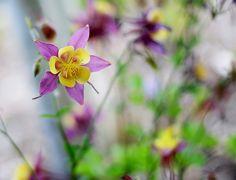 Colorado Columbine Pink and yellow
