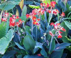 Full size picture of Canna Lily 'Super Glow' (<i>Canna</i>)