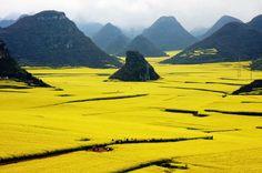 ALLPE Medio Ambiente Blog Medioambiente.org : El océano de flores de oro de Luoping