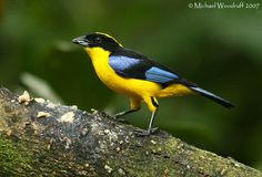 blue-winged mountain tanager (Anisognathus somptuosus) 16 - 17 cm