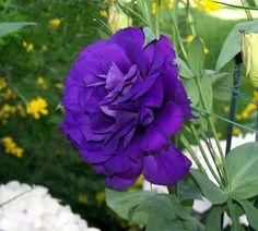 Purple Craze « Bountiful Healing