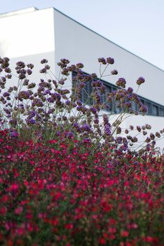 Salvia Royal Bumble and Verbena Bonariensis