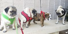 ❤ Rowland meeting the pugs, Minnie, Max   a friend, on his walk today.  Likely Rowland needed to ask some questions when he got home LOL! ❤  Posted on Minnie Max the Pugs