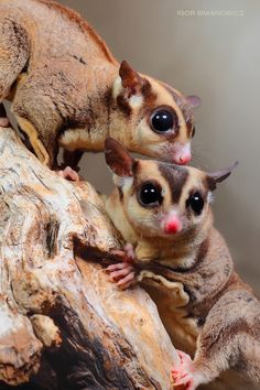 The sugar glider (Petaurus breviceps) is a small, omnivorous, arboreal gliding possum belonging to the marsupial infraclass. The common name refers to its preference for sugary nectarous foods and ability to glide through the air, much like a flying squirrel. Family: Petauridae