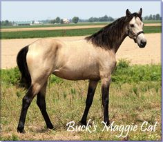 For Sale - BUCK'S MAGGIE CAT #21200848 is by The Buck Starts Here X Mack's Mystery Lady.  She is a beautiful buckskin Tennessee Walking Horse filly with her dam's great disposition and gait.  Will be 15 to 15.1 hands. This filly can walk and can really cover ground beside her mother.  Foaled 04/21/2012. Horse is located in Sikeston, Missouri. Yours for $2500. Please call 573-471-4352 for more information.   http://www.holmesfarmwalkers.com/BucksMaggieCat.htm   http://youtu.be/yjw77QFq4CE