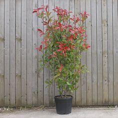 Leylandii Hedge, Ficus Hedge, Bamboo Hedge, Privet Hedge, Red Robin Hedge, Red Robin Tree, Red Tip Photinia, Photinia Red Robin, Hedges Landscaping