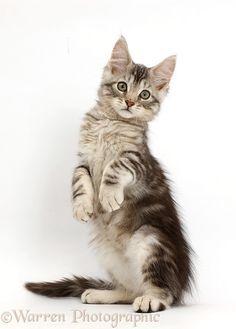 Silver tabby kitten standing