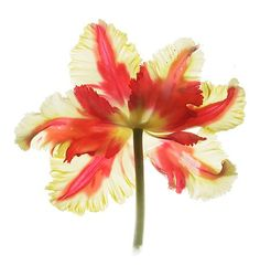 Red Tulip Botanical Print Wall Decor a Scanned by JudyStalus, $17.00
