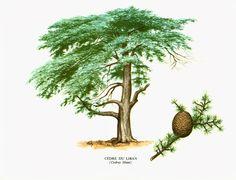 1967 Cèdre du Liban Planche Botanique Arbres Forets Coniferes Histoire Naturelle Dendrologie de la boutique sofrenchvintage sur Etsy