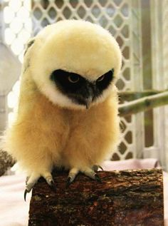 Spectacled Owlet by tytoalba, <3