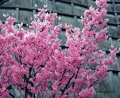 Sakura and retaining wall... Ochi-gun, Ehime Prefecture, Japan.