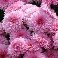 Image result for pink chrysanthemum