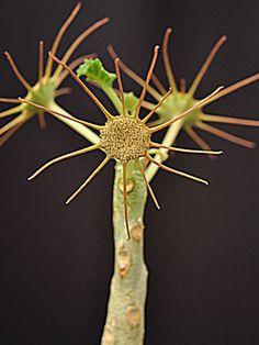 Dorstenia gypsophila  See its profile and more photos here ◢ http://www.worldofsucculents.com/dorstenia-gypsophila/