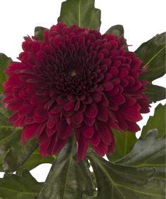 Wholesale Fresh Flowers for DIY weddings and events Red Wedding Flowers, Red Flowers, Autumn Wedding, Diy Wedding, Chrysanthemum, Floral Design, Bloom, Ivy, 30th