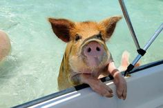 Pigs in the Bahamas 11