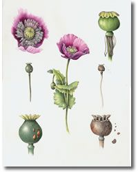 wendy hollender botanical art | the secret life of plants: botanical artist Wendy Hollender - Roll Art ...