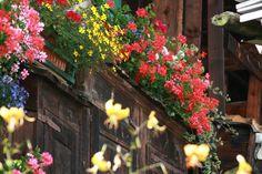Flowers of Switzerland