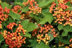 #Viburnum Red; Available at www.barendsen.nl