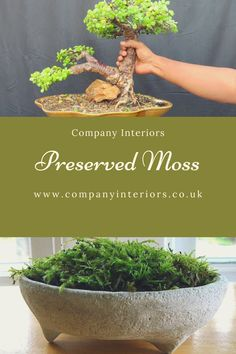 All or our preserved plants are from sustainable sources and are of the highest quality. Preserved Plants and Mosses include Bun Moss, Flat Moss, Reindeer Moss, Lichen , Star Moss and fern Moss. ideal for creating moss walls and frames as well as table displays and ceiling rafts#mosswalldesign #mosswalldesigner #mosswall #preservedmosswall #mosswallart #themosswall #mosswallphotos #mosswalls #mosswalls🌿 #mosswallsupplier #commercialdesign #livingroomideas #commercialinteriordesign… Money Tree Bonsai, Money Trees, Moss Wall Art, Moss Art, Moss Decor, Office Fit Out, Commercial Interior Design, Display Ideas, Preserves