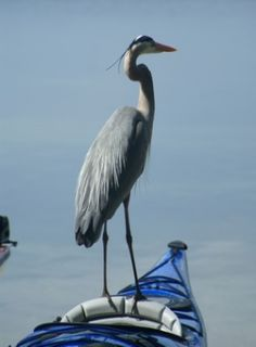 #Kayak guest, great blue heron Like, Repin, Share, Follow Me! Thanks!