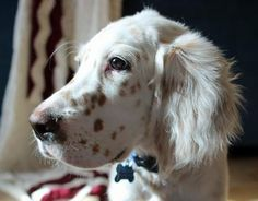 English Setter dog art portraits, photographs, information and just plain fun. Also see how artist Kline draws his dog art from only words at drawDOGS.com #drawDOGS http://drawdogs.com/product/dog-art/english-setter-dog-portrait-by-stephen-kline/