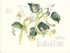 Linden tree watercolor painting by Catalina Somolinos.